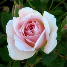 52 Petal Morden Blush Rose