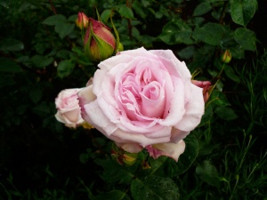 ophelia-rose