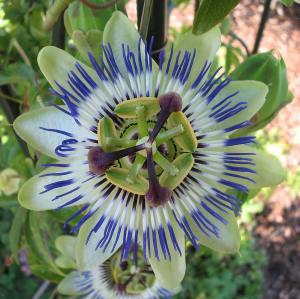 PassifloraCaerulea_Bluete_von_oben