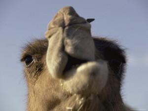 camel-chewing-cud
