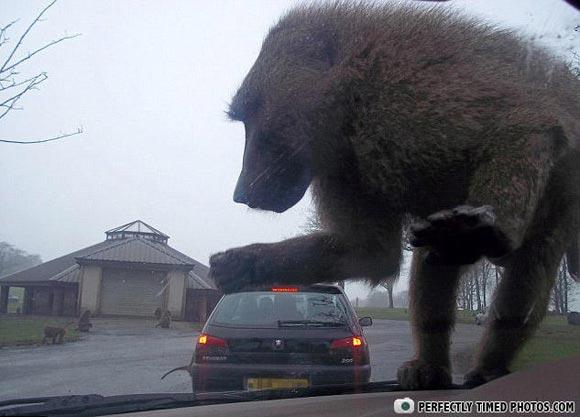 ptp King Kong