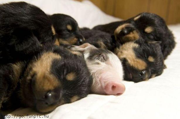 puppy pig