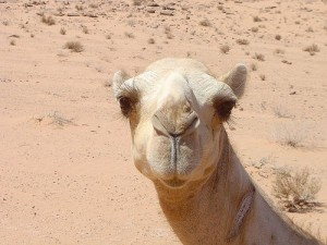 Camel jordanian desert