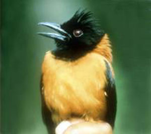 Did You Know Hooded Pitohui poisoness bird