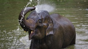 elephant_spraying_water_trunk