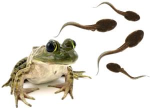 frog-tadpoles