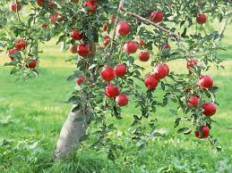 pun apple tree