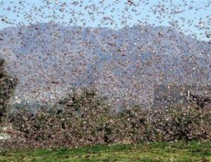 locust_swarm