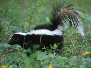 Skunk-in-Grass