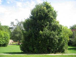 holly tree in park