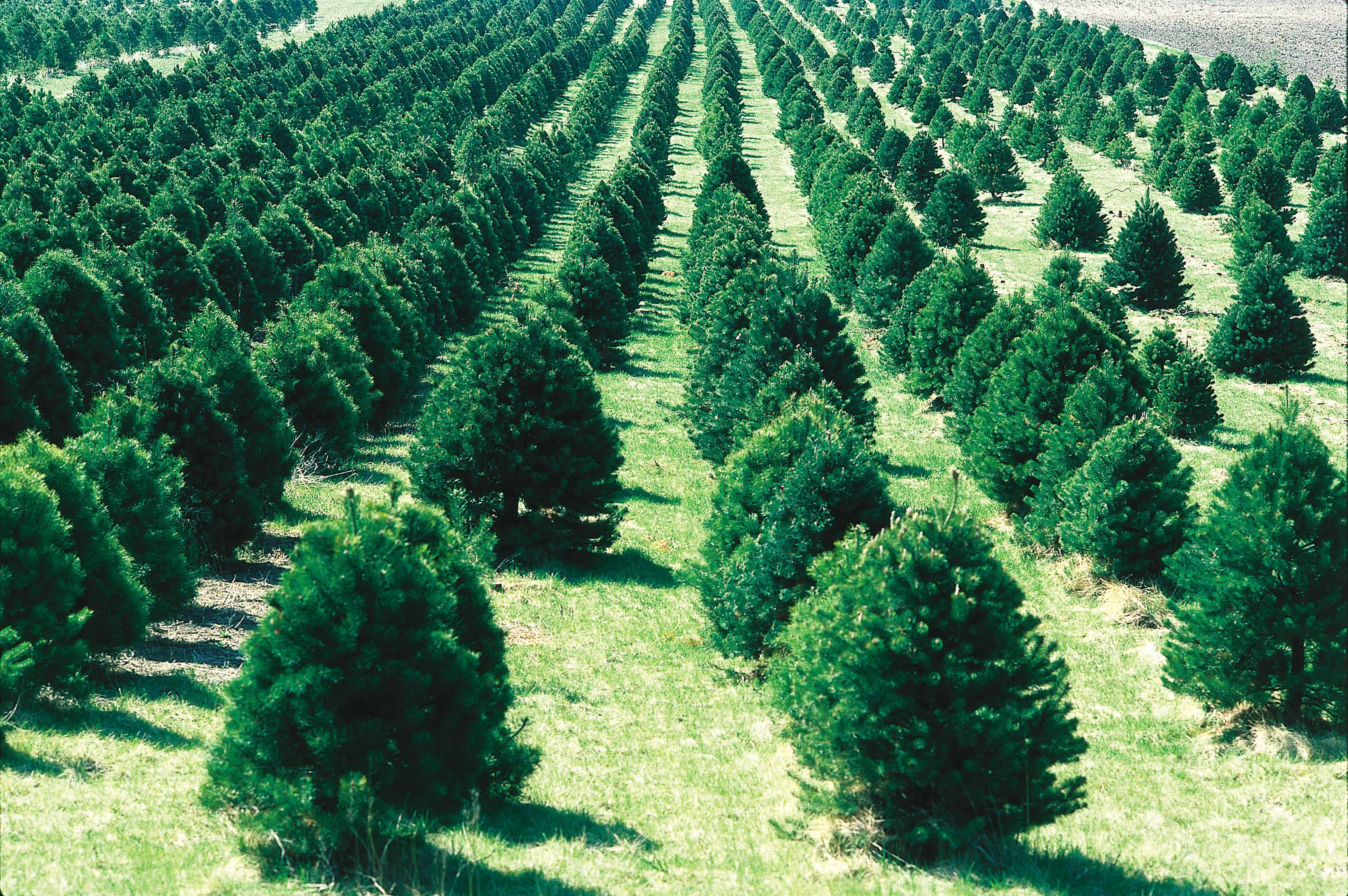 Christmas Tree Farm Ia