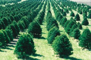 Christmas tree farm in Iowa.