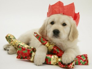 jane-burton-golden-retriever-puppy-with-christmas-crackers-wearing-paper-hat