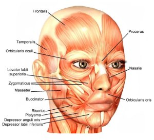 face-muscles