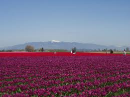 Mt. Vernon Washington tulip fields