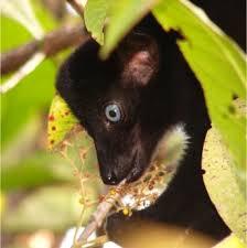 black lemurs blue eyes