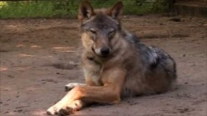 Chernobyl wildlife sanctuary wolf