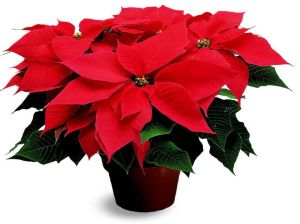 christmas-poinsettia-flowers