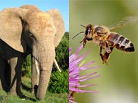 Elephants afraid of bees