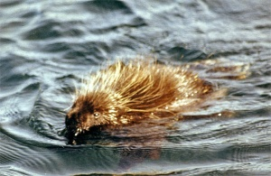 porcupines float in water