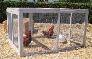 chickens in pen