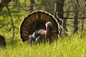 turkey habitat