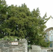 Yew tree located in the churchyard of the village of Fortingall in Perthshire, Scotland