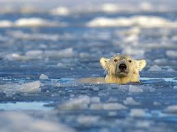 polar bear is an excellent swimmer