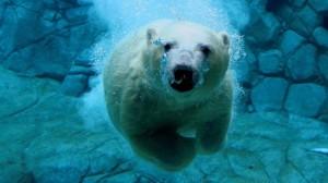 polar-bear-ursus-maritimus-underwater--19238