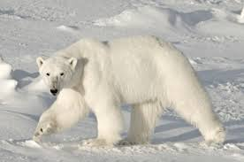 polar bear's stark white fur