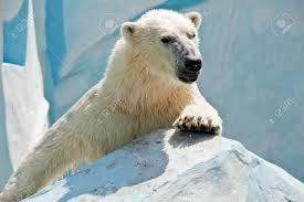 white bear at the zoo