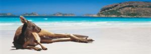 kangaroo-on-the-beach-lucky-bay-esperance-western-australia