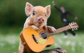 small pig with guitar